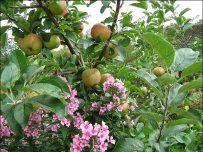 Bumper apple crop