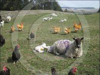 New season lamb and free range hens