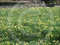 Daffodils at Brockhole