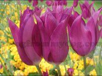 Crimson tulips in Victoria Park, Carlisle