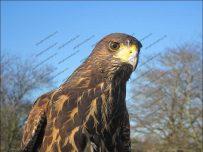 Harris hawk in Dalston