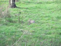 Rabbit munching some fresh grass
