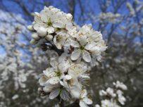 Blossom opens in the bright sunshine