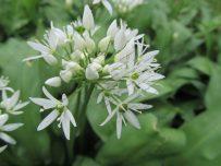 Wild garlic sends an onion smell across the area