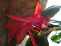 Christmas Cactus - Schlumbergera