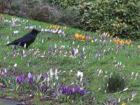 Crocus in Victoria Park, Carlisle