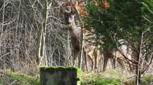 Wild deer photographed in Carlisle