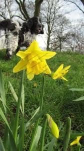 Daffodils in the morning sunshine