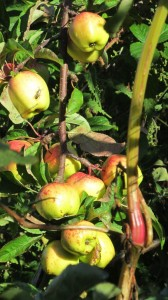 Apples redden in the early Autumn sunshine