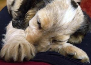 Rufus the Cocker sleeps off his big day