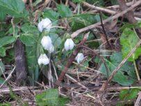 Snowdrops hint at springtime