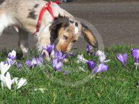 Rufus sniffs the crocus