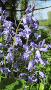This year has been really good for bluebells
